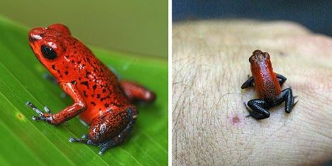 Zehirli dart kurbağası Dokununca zehirleyip öldüren yegane hayvanlardandır. Kızılderililer bu kurbağaların derilerini kullandıkları oklarda kullanıyorlardı. Özellikle maymunların baş düşmanı. İnsanları da aynı şekilde dokundukları anda öldürebiliyor. Dokunduğu bölgede iç kanama ve felç yaratıp organları infilak ettirebiliyor.